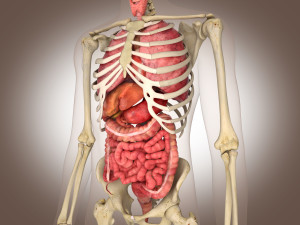 Le squelette soutien et protège les organes internes.